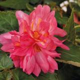 Begonia Funky® Pink