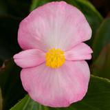 Begonia Tophat™ Pink