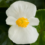 Begonia Tophat™ White