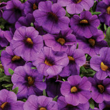 Calibrachoa Superbells® TableTop™ Blue