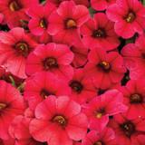 Calibrachoa Superbells® TableTop™ Red