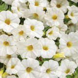 Calibrachoa Superbells® TableTop™ White