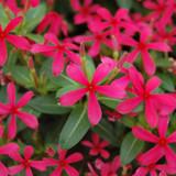 Vinca Soiree Kawaii® Red Shades