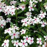 Vinca Soiree Kawaii® White Peppermint