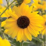 Helianthus Suncredible® Yellow (Sunflower)