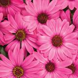 Osteospermum Bright Lights™ Berry Rose (African Daisy)