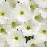 Petunia Supertunia Vista® Snowdrift™