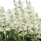 Salvia Cathedra® White