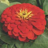 Zinnia Magellan™ Scarlet