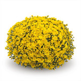 Belgian Mums® Conella Yellow