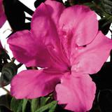 Azalea Autumn Sangria®