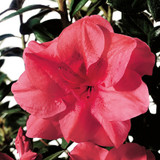 Azalea Autumn Princess®