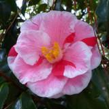 Camellia Lady Vansittart