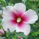 Hibiscus Paraplu Pink Ink®
