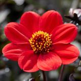 Dahlia Happy Days® Scarlet