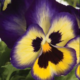 Pansy Blueberry Thrill