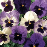 Pansy Matrix® Ocean Breeze Mix