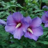 Hibiscus Paraplu Violet®