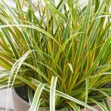 Carex EverColor® Everglow (Sedge)