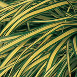 Carex osh. Evergold (Sedge)