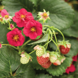 Fragaria Berried Treasure® Red (Strawberry)