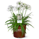 Agapanthus Ever White™ (Lily of the Nile)