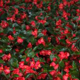 Begonia ben. Surefire® Red