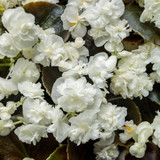 Begonia Double Up™ White