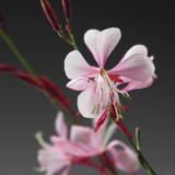 Gaura lind. Stratosphere™ Pink Picotee