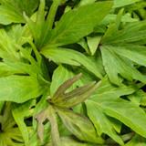 Ipomoea Sweet Caroline Medusa™ Green (Sweet Potato Vine)