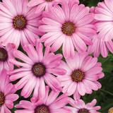 Osteospermum Bright Lights™ Pink (African Daisy)