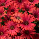 Osteospermum Bright Lights™ Red (African Daisy)