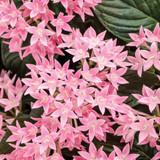 Pentas Sunstar™ Pink