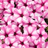 Petunia Supertunia® Mini Vista™ Pink Star