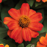 Zinnia Double Zahara™ Fire