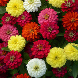 Zinnia Double Zahara™ Mix