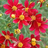 Coreopsis Red Satin (Tickseed)