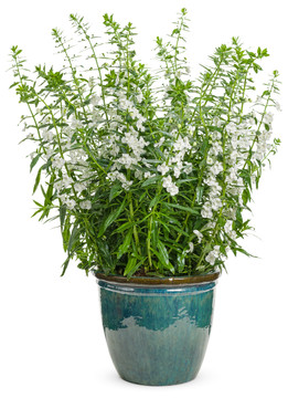 Angelonia Angelface® Super White (Summer Snapdragon)