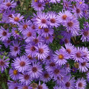 Aster Wood's Purple