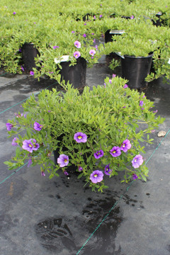 Calibrachoa Callie® Light Blue