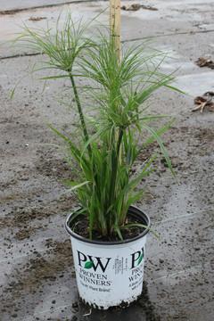 Cyperus Prince Tut™ (Dwarf Papyrus)
