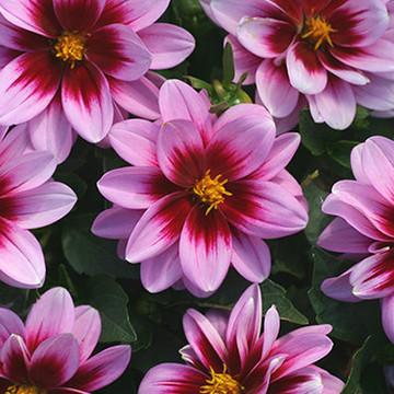 Dahlia Dalaya™ Pink + Rose Eye