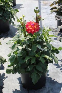 Dahlia Firepot