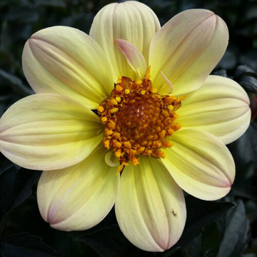 Dahlia Happy Days® Lemon