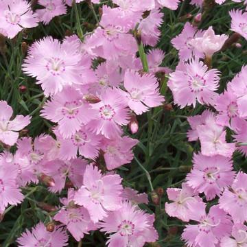 Dianthus Bath's Pink