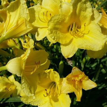 Hemerocallis Happy Returns (Daylily)