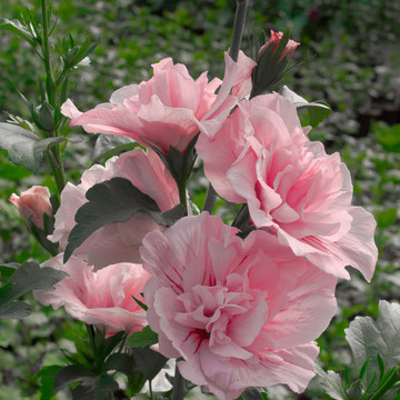 Hibiscus Pink Chiffon®
