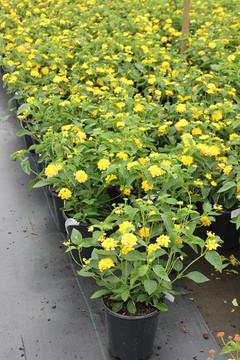 Lantana Landmark™ Yellow