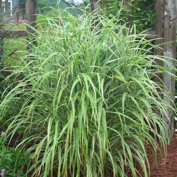 Miscanthus Cosmopolitan (Maiden Grass)
