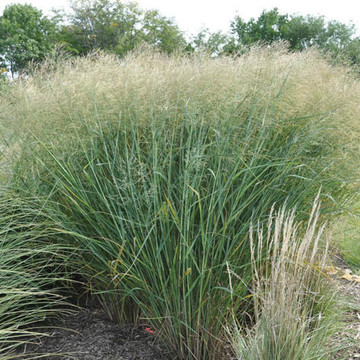 Panicum Cloud Nine (Tall Switch Grass)